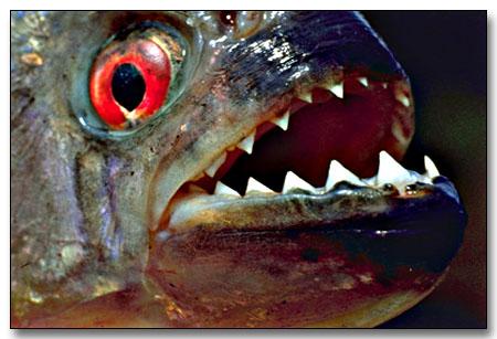 piranha-copia